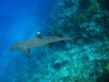 whitetip för haj för alammarsarev Arkivbilder