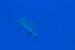 Whitetip haj Royaltyfri Fotografi