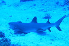 Whitetip haj på sanden Royaltyfri Fotografi