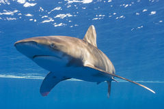 Whitetip oceanic royalty free stock photography