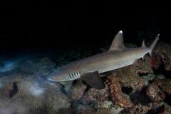 Whitetip Ree Shark Hunting na noite foto de stock royalty free