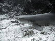 Whitetip reef shark. Black and white closeup of Whitetip reef shark Stock Images