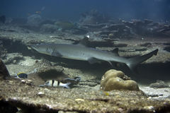 Whitetip Reef Shark. (Triaenodon obesus). Maldives. Indian ocean. Addu atoll royalty free stock image