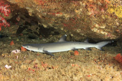 Whitetip Reef Shark Royalty Free Stock Images