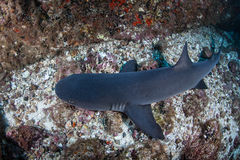 Whitetip Reef Shark Royalty Free Stock Photography