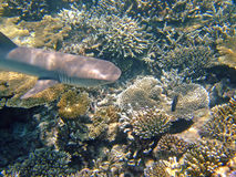 Whitetip reef shark, Maldives Royalty Free Stock Image