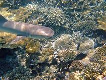 Whitetip reef shark, Maldives Royalty Free Stock Image