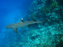 Whitetip reef shark, Marsa Alam Stock Images