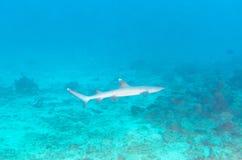 Whitetip Reef Shark near Coral Bottom Stock Images
