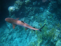 Whitetip reef shark in Red sea. Whitetip reef shark and coral reef in Red sea Stock Image