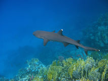 Whitetip reef shark and reef Stock Photo