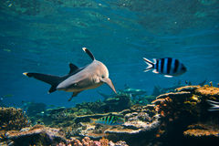 Whitetip Reef Shark on the reef turns to the side Royalty Free Stock Image