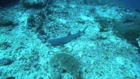 Whitetip reef shark resting on ocean floor stock video