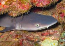 Whitetip reef shark royalty free stock photos
