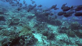 Whitetip reef shark and surgeonfish stock video footage