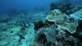 Whitetip reef shark stock video