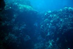 Whitetip reef shark (triaenodon obesus) Royalty Free Stock Images