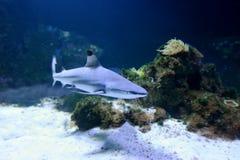 Whitetip reef shark Stock Photo