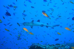 Whitetip reef shark. In the tropical coral reef stock photo