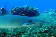 Whitetip Reef Shark. Triaenodon obesus Swimming over Reef. Coiba, Panama Royalty Free Stock Images