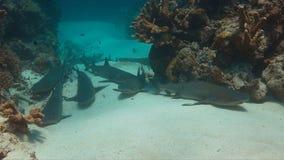 Whitetip Reef Sharks on sandy bottom Stock Photography