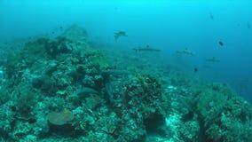 Whitetip revhajar på en korallrev fotografering för bildbyråer