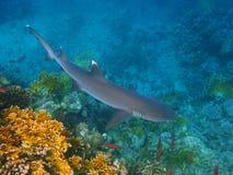 Whitetip Rifhaifisch und Korallenriff stockbilder