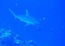 Whitetip shark stock images