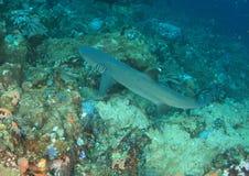 Whitetip shark stock photos