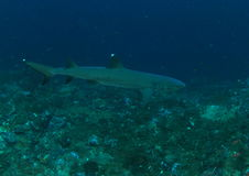 Whitetip shark royalty free stock photography