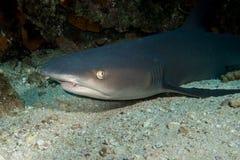 Whitetip Shark Cocos Island. Whitetip Shark in Cocos Island Costa Rica stock photos