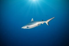 Whitetip shark floating in deep water Stock Image