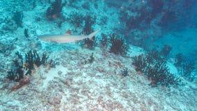 Whitetip Shark, Maldives Royalty Free Stock Images