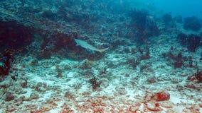 Whitetip Shark, Maldives Stock Photos