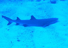 Whitetip shark on sand royalty free stock image