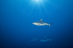 Whitetip sharks floating in deep water Stock Photos