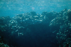 whitetip triaenodon акулы рифа obesus Стоковые Фотографии RF