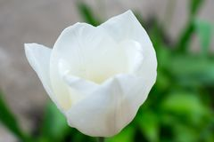 Whitetulip in the garden on a background of green leaves stock photos