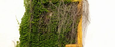 Whitewash Wall With Hidden Yellow Window In Green Vines. Royalty Free Stock Photo