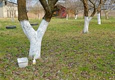 The whitewashed fruit trees in a garden. Spring Stock Images