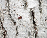 Whitewashed tree bark texture with Cardinal beetle on multicolored bark. Royalty Free Stock Image