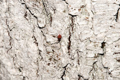Whitewashed tree bark texture with Cardinal beetle on multicolored bark. Royalty Free Stock Photo