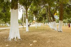Whitewashed Trees close to the Temple Mount in Jerusalem stock photography