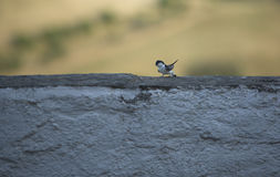 Whitewashed wall swallows Royalty Free Stock Images