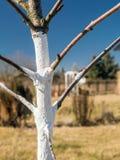 Whitewashed young fruit tree Royalty Free Stock Image