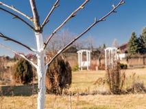 Whitewashed young fruit tree Stock Images