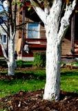 Whitewashing árvores do jardim Fotografia de Stock