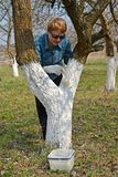 Whitewashing of a trunk of a fruit tree. Spring works in a garden Royalty Free Stock Image