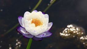 White water lily with yellow carpel stock video footage