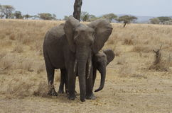 Whith del elefante africano un bebé Fotos de archivo libres de regalías